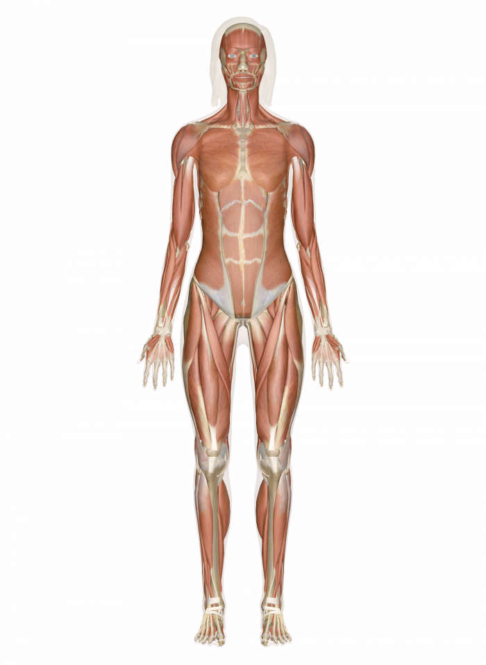 a description of the various types of skeletal muscle architecture in a human body A typical skeletal muscle consists of two types of tissues: contractile tissue and supporting tissue it helps in organization of the muscle endomysium surrounds each muscle fiber separately perimysium surrounds bundles (fasciculi or myonemes) of muscle fibers of various sizes.